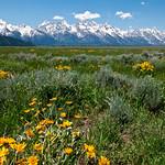Teton mountain range with wild flowers.  Jackson, WY.